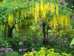 You can enjoy the simultaneous bloom of the Golden Rain Tree and the Allium aflatunense in the garden by Rosemary Verey only in the end of May – beginning of June.