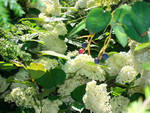 "One can spy upon the wild hydrangea ""Annabelle"" from behind the Lamarck Serviceberry ""Balerina""."