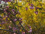 The autumnal combination of the blooming forsythia and the ornamental cherry looks nice.