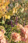 "The autumnal color of the cecidiphyllum and the hydrangea make us think of the last warm autumn days. The agastache ""Blue Fortune"" decorates the calm picture by the blue of its vertical inflorescences."