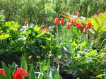 Early tulips combine with the spring rhubarb. Finished the bloom they will be covered by awens and poppies.